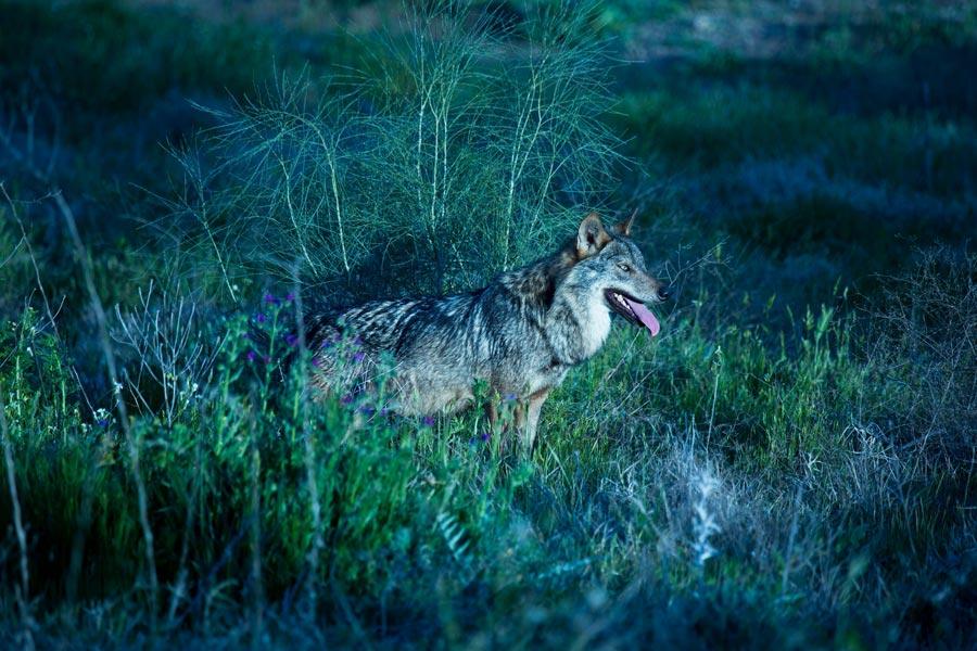 Canis Lupus Signatus o lobo ibérico